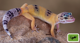 Poster-Gecko