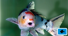 Poster-Goldfish